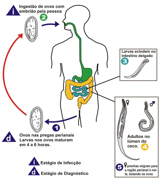 enterobius vermicularis reservorio warts and cervical cancer is caused by which virus