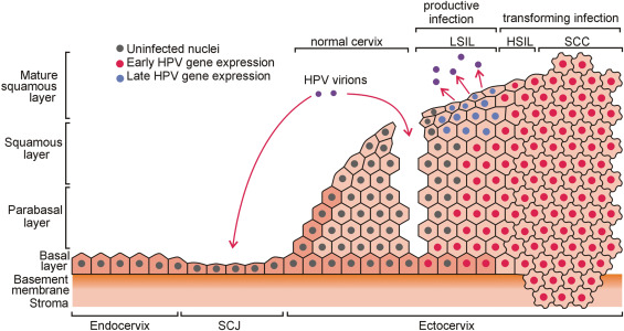 human papillomavirus dna methylation and microrna expression in cervical cancer